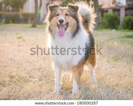 Dog, Shetland sheepdog waiting to play in field, back lighting portrait.