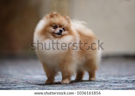Stock Photo Dog show champion Pomeranian portrait dog
