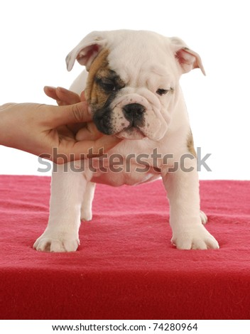 dog show - english bulldog puppy practicing stacking for dog show