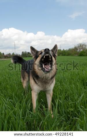 dog showing teeth - stock photo