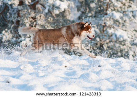 dog siberian husky runs and jumps in the snow
