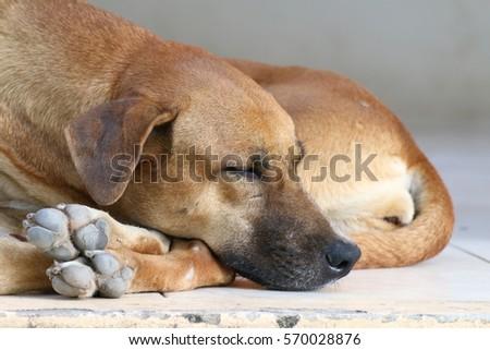 dog sick, sleep dog relax alone, brown dog is sleeping, brown dog is sleep sick #570028876