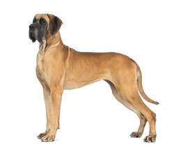 Dog, side view of a Great Dane, 4 years old, in front of white background