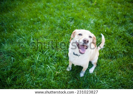 Dog sits in the green grass smiling