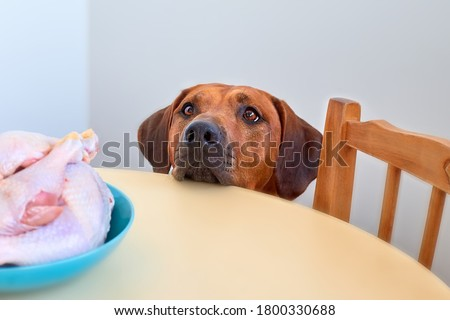 Dog sitting behind the kitchen table and looking at raw chicken meat Dog begging for food Hungry dog waiting for food Foto d'archivio ©