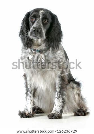 dog sitting - english cocker spaniel cross looking at viewer sitting on white background
