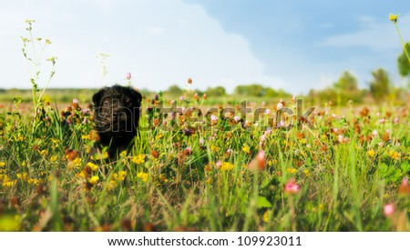 dog sitting in a flower field, shar