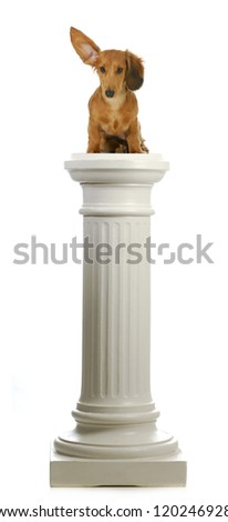 dog sitting on a pedestal - dachshund with ear up listening sitting on pillar
