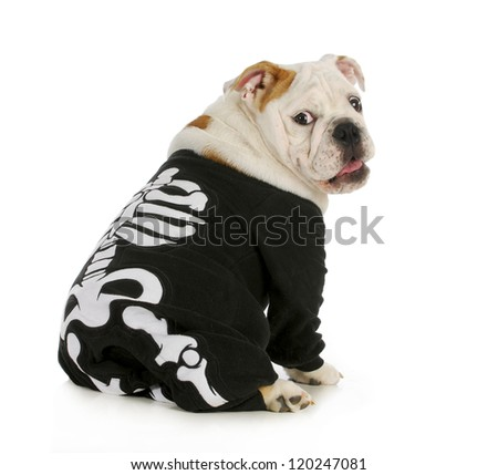 dog skeleton - english bulldog wearing skeleton costume with funny expression