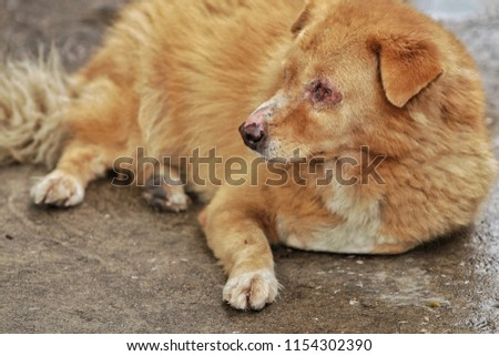 Dog skin infection around mouth and eyes With chronic inflamation. Pity dog. #1154302390