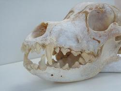 Dog skull bone white background.