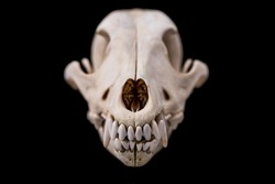 Dog skull isolated on black background. Animal skull.