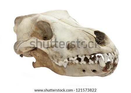 Dog skull isolated on white background