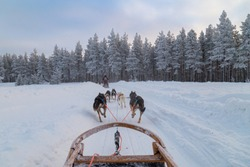 dog sledding in finland at sunrise