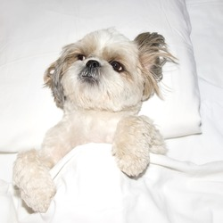 dog sleeping on a pillow in bed under the covers