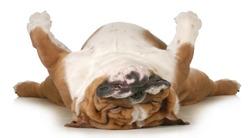 dog sleeping upside down isolated on white background - english bulldog