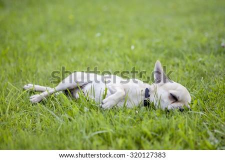 Dog sleeps on green grass