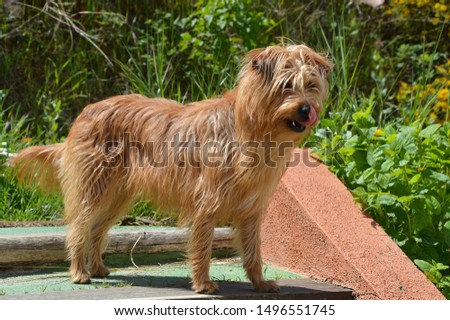 Dog (small brown long hair mixed breed canine) tongue sticking out cleaning mouth standing outdoors sunny day #1496551745