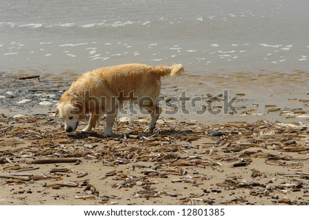 Dog smelling shells in the beach - stock photo