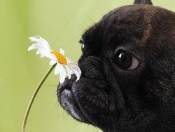 Dog smelling the flower. Funny muzzle of French bulldog puppy