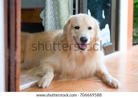 dog smile ,headshot #706669588