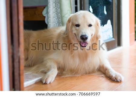 dog smile ,headshot #706669597
