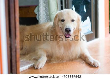 dog smile ,headshot #706669642