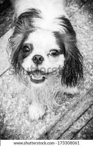 Dog smile in black and white