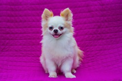 Dog smile, Pomeranian dog white fur yellow, fashion photography on a backdrop of dark pink