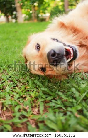 dog smiling  #160561172