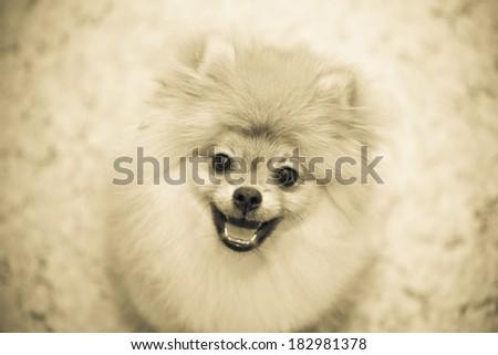 Dog smiling. Happy pet - dog Spitz. Small breeds. black and white photography, vintage.