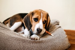 Dog Snack Chewing Sticks for puppies. Beagle puppy eating Dog Snack Chewing Sticks at home. Beagle Eat, Dog Treats for Beagles
