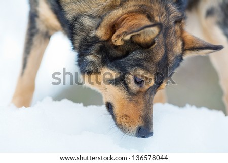 Dog sniffing snow