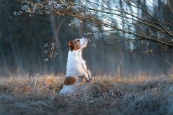 dog sniffs a willow. Pet on the nature in the spring. Jack Russell Terrier in the spring in the park