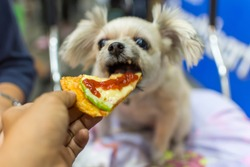 Dog so cute mixed breed with Shih-Tzu, Pomeranian and Poodle sitting at wooden table outdoor restaurant waiting to eat a pizza cheese feed by people is a pet owner