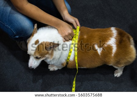 Dog so cute Pembroke Welsh Corgi breed fat body overweight from obesity and fatness check waist scale by soft tape measure or tapeline