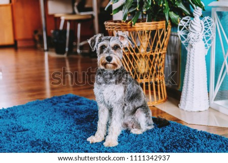 Dog, species: schnauzer. The dog sits on the blue carpet and looks at the lens. In the background the interior of the living room. #1111342937