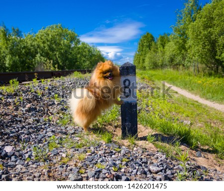 Dog Spitz at the railway next to column number 8 #1426201475