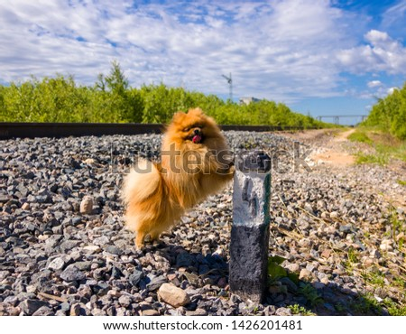 Dog Spitz at the railway next to column number 4 #1426201481