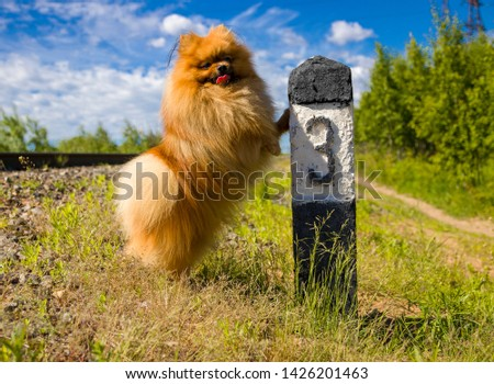 Dog Spitz on the railway line next to the column number 3 #1426201463