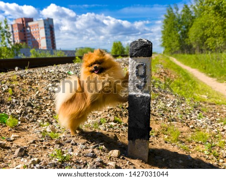 Dog Spitz on the railway line next to the column number 9 #1427031044