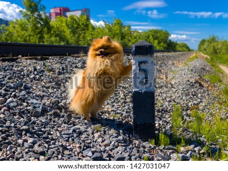 Dog Spitz on the railway line next to the column number 5 #1427031047