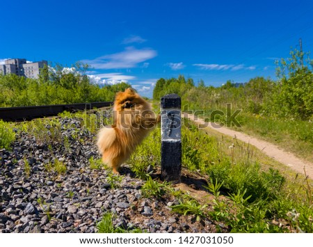 Dog Spitz on the railway line next to the column number 7 #1427031050