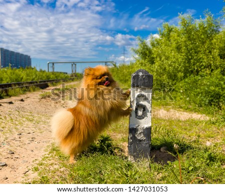 Dog Spitz on the railway line next to the column number 6 #1427031053