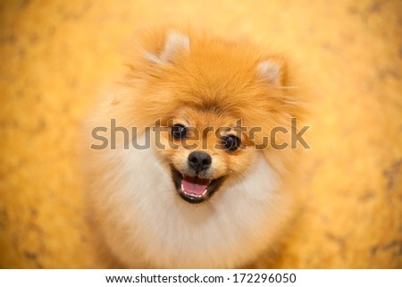 Dog spitz orange. Small dog breeds. Smiling at the camera