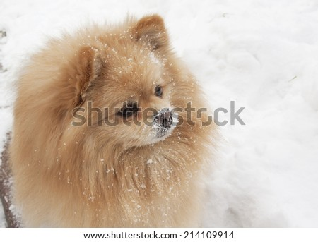 Dog Spitz Spitz is the most ancient known to man dog. Spitz has a good-natured, friendly disposition, wonderful companions for people of all ages.