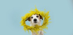 Dog spring. Funny happy jack russell standing hind two legs. Isolated on blue colored background. Happy easter concept.