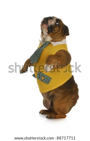 dog standing - english bulldog wearing yellow shirt and tie standing on hind legs looking up with reflection on white background