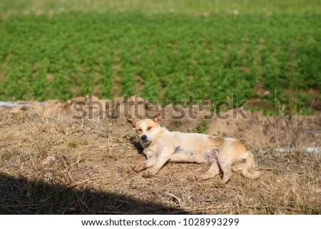 Dog sunbathe in field #1028993299