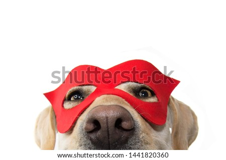 DOG SUPER HERO COSTUME. LABRADOR CLOSE-UP WEARING A RED MASK. CARNIVAL OR HALLOWEEN. ISOLATED STUDIO SHOT ON WHITE BACKGROUND. #1441820360